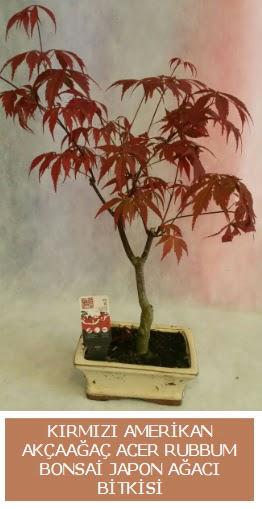 Amerikan akçaağaç Acer Rubrum bonsai  Ulus Ankara online çiçekçi , çiçek siparişi