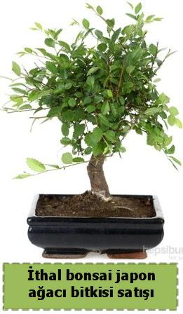 İthal bonsai saksı çiçeği Japon ağacı satışı