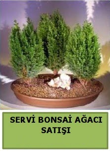 BONSAİ 3 LÜ SERVİ BONSAİ AĞACI