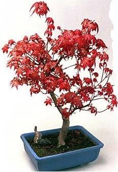 Amerikan akçaağaç bonsai bitkisi