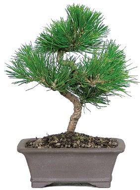 Çam ağacı bonsai japon ağacı bitkisi