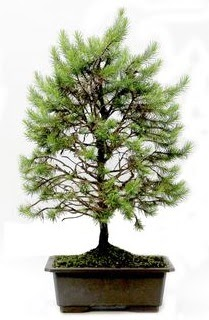 *** STOKTA YOK - Çam ağacı bonsai bitkisi satışı  Ulus Ankara yurtiçi ve yurtdışı çiçek siparişi