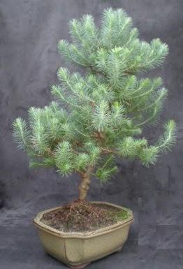 Bonsai çam ağacı japon ağacı bitkisi
