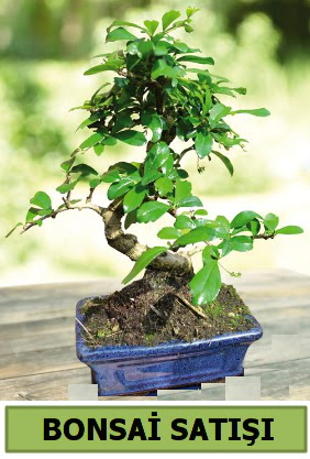 Çam bonsai japon ağacı satışı
