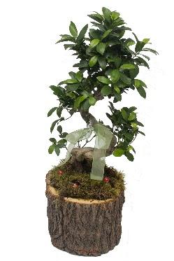 Doğal kütükte bonsai saksı bitkisi
