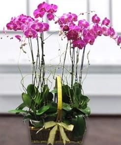 7 dallı mor lila orkide