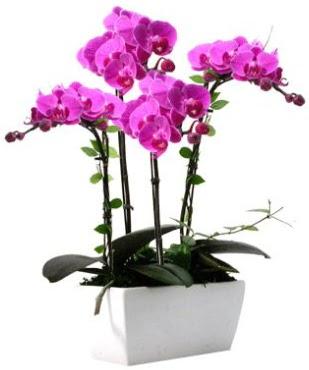 Seramik vazo içerisinde 4 dallı mor orkide