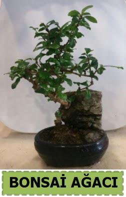 Bonsai ağacı japon ağacı satışı