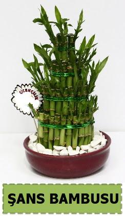 Şans piramit bambu saksı bitkisi