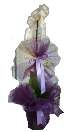 Tek dallı beyaz orkide süper kalite ithal  Ulus Ankara anneler günü çiçek yolla
