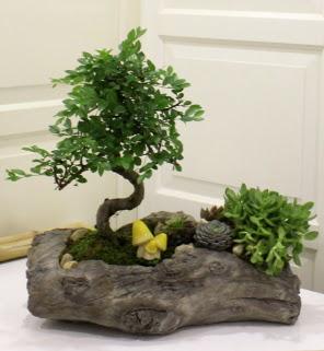 Ağaç kütük içerisinde bonsai ve sukulent
