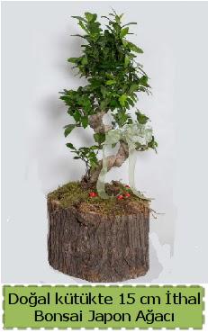 Doğal kütükte İthal bonsai japon ağacı