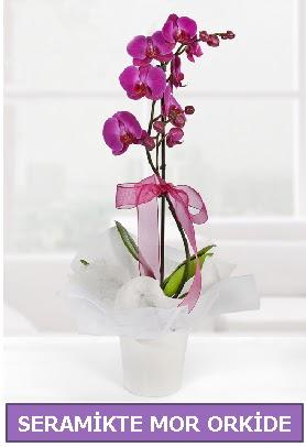 Seramik içerisinde birinci kalite tek dallı mor orkide