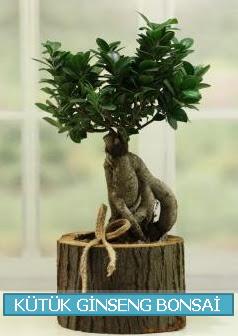 Kütük ağaç içerisinde ginseng bonsai