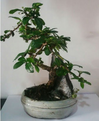 S şeklinde ithal bonsai ağacı