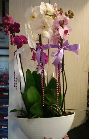 Mor ve beyaz ve pembe 6 dallı orkide