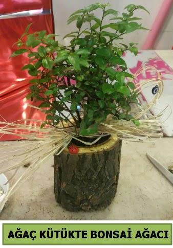 Doğal ağaç kütük içerisinde bonsai ağacı