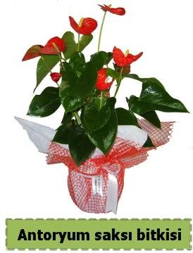 Antoryum saksı bitkisi satışı