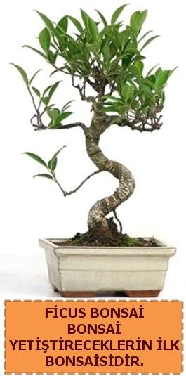 Ficus bonsai 15 ile 25 cm arasındadır