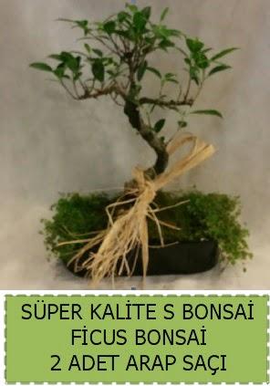 Ficus S Bonsai ve arap saçı