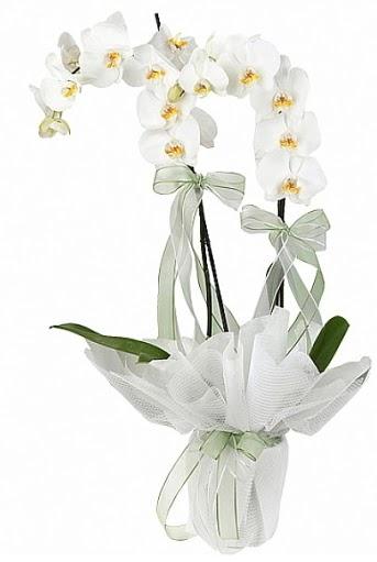 Çift Dallı Beyaz Orkide  Ulus Ankara İnternetten çiçek siparişi