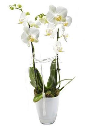 2 dallı beyaz seramik beyaz orkide saksısı