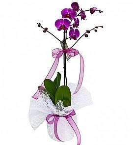 Tek dallı saksıda ithal mor orkide çiçeği  Ulus Ankara çiçek online çiçek siparişi