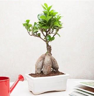Exotic Ficus Bonsai ginseng  Ulus Ankara çiçek gönderme
