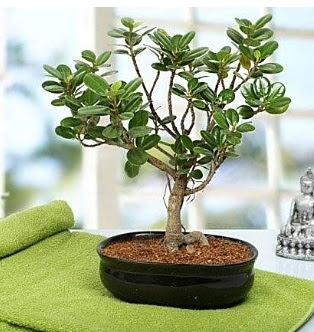 Lovely Ficus Iceland Bonsai  Ulus Ankara İnternetten çiçek siparişi