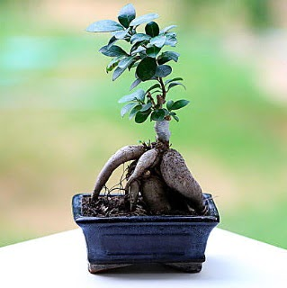 Marvellous Ficus Microcarpa ginseng bonsai  Ulus Ankara çiçek mağazası , çiçekçi adresleri