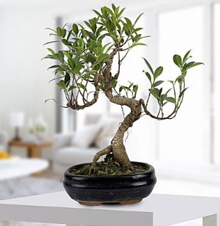 Gorgeous Ficus S shaped japon bonsai  Ulus Ankara ucuz çiçek gönder