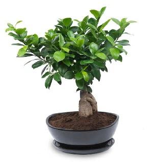 Ginseng bonsai ağacı özel ithal ürün  Ulus Ankara hediye sevgilime hediye çiçek