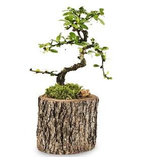 Doğal kütükte S bonsai ağacı