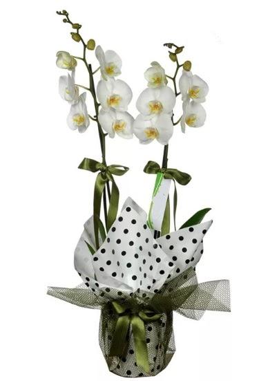 Çift Dallı Beyaz Orkide  Ulus Ankara çiçek yolla , çiçek gönder , çiçekçi