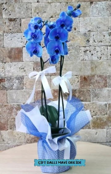 çift dallı ithal mavi orkide