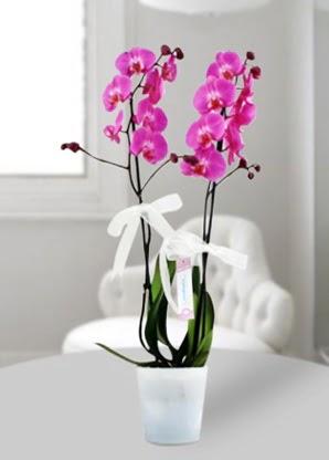 Çift dallı mor orkide  Ulus Ankara çiçek online çiçek siparişi