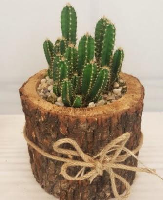 Kütük içerisinde özel kaktüs bitkisi