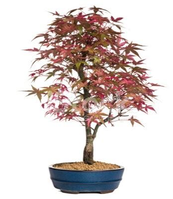 Akçaağaç bonsai süper bonsai ağacı  Ulus Ankara güvenli kaliteli hızlı çiçek