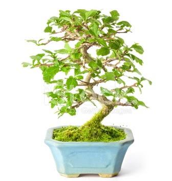 S zerkova bonsai kısa süreliğine