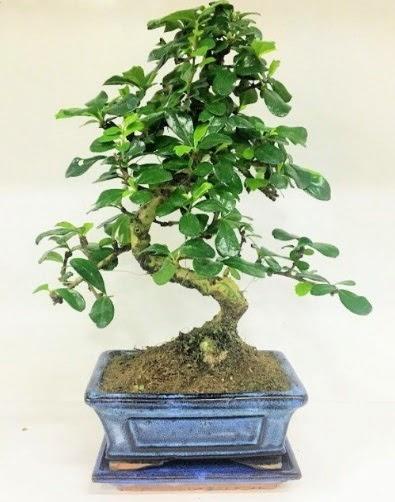 S Bonsai japon ağacı bitkisi  Ulus Ankara online çiçekçi , çiçek siparişi
