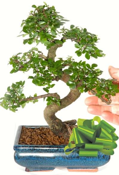 Yaklaşık 25 cm boyutlarında S bonsai  Ulus Ankara anneler günü çiçek yolla