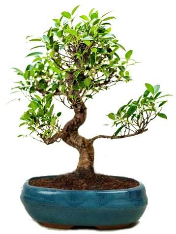 25 cm ile 30 cm aralığında Ficus S bonsai