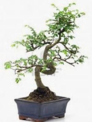 S gövde bonsai minyatür ağaç japon ağacı