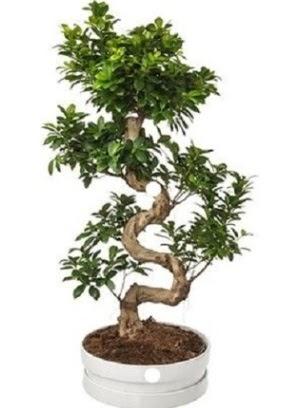 90 cm ile 100 cm civarı S peyzaj bonsai