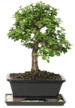 15 cm civarı Zerkova bonsai bitkisi  Ulus Ankara anneler günü çiçek yolla