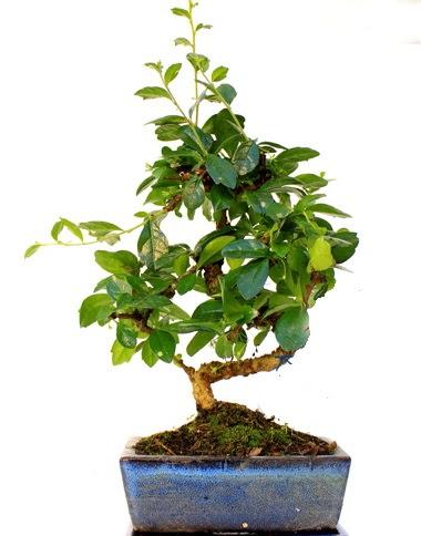 S gövdeli carmina bonsai ağacı  Minyatür ağaç