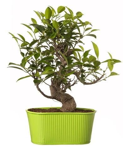 Ficus S gövdeli muhteşem bonsai  Ulus Ankara anneler günü çiçek yolla