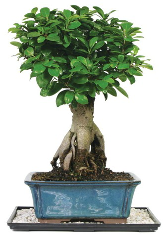 Bonsai Ginsing Grafted Ficus Bonsai