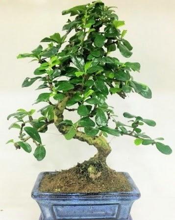 Zelkova S gövdeli Minyatür ağaç Bonzai