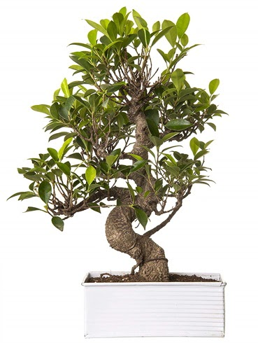 Exotic Green S Gövde 6 Year Ficus Bonsai